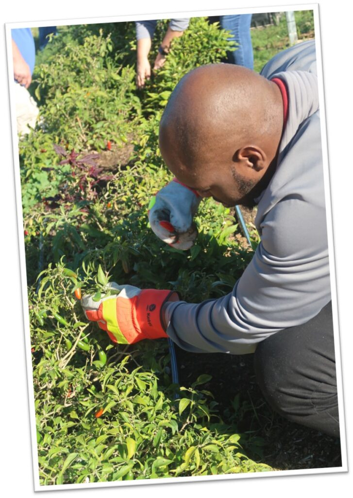 KeHE employee picking Small Axe Pepper seedlings at New Vision Community Church in Laredo, Texas